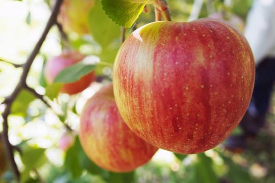 リンゴ狩りプラン
