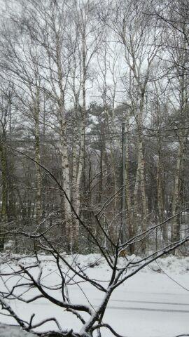 白樺に雪が降りました。