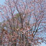 女神湖の山桜‼️